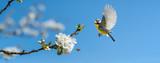 Der Singvogel Blaumeise und eine Biene an einem blühenden Kirschbaum zeigt, dass endlich Frühling ist
