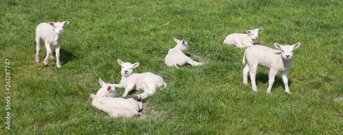 small newborn lambs in green meadow on sunny spring day - 261287747