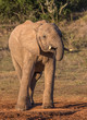 African elephant male with trunk to it's mouth