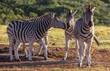 Three Burchell's zebras in late afternoon sun