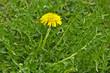 Leinwanddruck Bild - Loewenzahn, Taraxacum sect. Ruderalia,