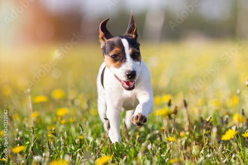 Jack Russel Terrier © Ines
