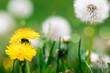 Dandelion flowers in the meadow