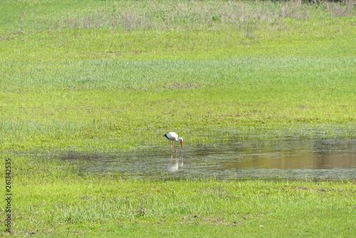 canvas print picture Storch beim fischen