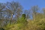 Les hêtres majestueux pas encore en feuille s'élançant vers le ciel bleu au domaine de l'abbaye du Rouge-Cloître à Auderghem