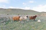 Sheep graze in the meadow in summer