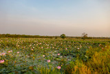 Lotus fields in Kampong Tralach Cambodia