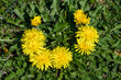 Close up of a group of fresh yellow dandelion or Taraxacum flowers or  in a spring garden on green blurred background