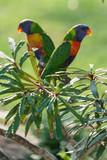 Rainbow lorikeet Papageien (Trichoglossus haematodus) in Australien