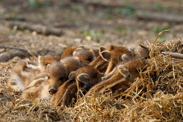 Junge Wildschweine und Frischlinge
