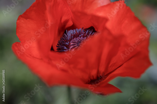 Close up of a red poppy flower - 261389185