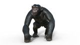Chimpanzee monkey, primate ape walking, wild animal isolated on white background, 3D illustration