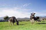 A herd of cows in a green field in Tasmania, Australia.