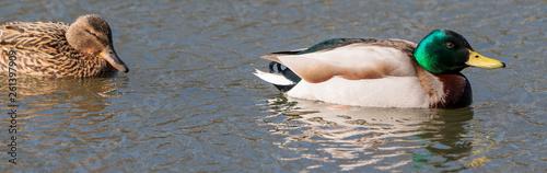 canvas print picture Duck kaczka krzyżówka krajobraz jezioro landscape lake ande