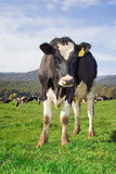 A single cow with a herd and hills in the background in the beautiful Tasmania.