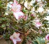 Azalea flowering bush. Buds and flowers of white-pink Azalea (Rhododendron) with leaves growing in the garden in spring, Italy. Natural background.