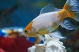 Close-up of goldfish in aquarium water