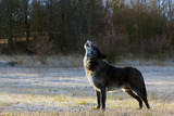 The northwestern wolf (Canis lupus occidentalis) standing on the road. The wolf (Canis lupus), also known as the grey/gray or timber wolf.Portrait of a waving wolf.