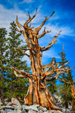One Tree - Bristlecone Pine Grove Trail - Great Basin National Park - Baker, Nevada
