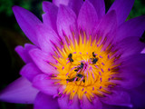 the bees in pollen of lotus.