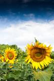 tournesol oléicole soleil fleurs pétales