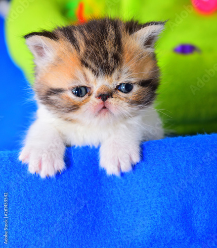 Leinwandbild Motiv cute persian cat baby kitten