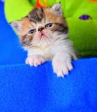 cute persian cat baby kitten
