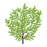 Olive tree. Vector illustration. Olive fruit tree plant. Flat vector color Illustration clipart. Ripe European olive on a tree.