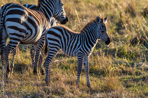 zebra calf walking alone without her mother in Maasai Mara at sunrise