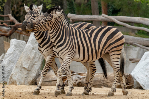 Tanzania zebra holding wood in mouth - 261478702