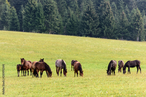 Horses on free pasture in the Carpathian mountains of Transylvania