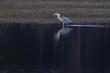 Quadro Grey heron standing at edge of lake in nature reserve.