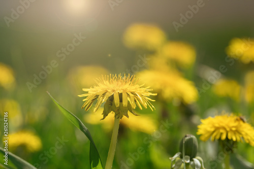 Yellow dandelion on a background of green grass. - 261524786