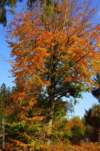 fototapeta na ścianę bunt gefärbte Rotbuche im Herbst auf einer Lichtung im Wald