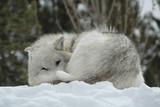 Wolf im Yellowstone Nationalpark