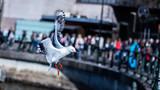 Silver gull bird flying