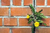 dandelion between a brick wall