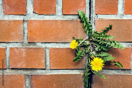 dandelion between a brick wall - 261550152