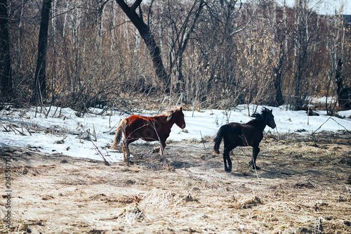 two free young horse run on spring field, red and black