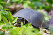 closeup turtle crawling in a grass, wild animal in a forest