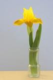 iris jaune printanier en vase