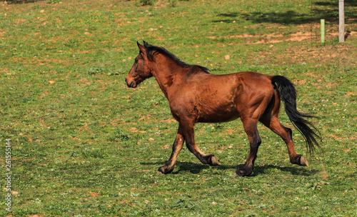 Wild brown horse run in a field