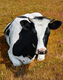 Cow lying on a spring farm pasture.