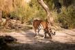 tiger, tier, katze, wild lebende tiere, wild, tierpark, felino, natur, band, raubtier, säugetier, bengal, fleischfresser, big, dschungel, sibirische katze, großkatze, fell, kopf, safari, gestreift, or