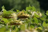 Sloneczniki plantacja