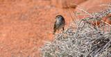 Sparrow on Burro Bush