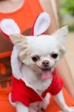 chihuahua small dog cute pet happy smile