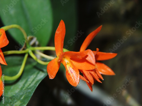Primer plano de la flor de una orquídea (Guarianthe aurantiaca)