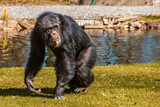 Chimpanzee walking in the grass with a carrot in his mouth like a cigar