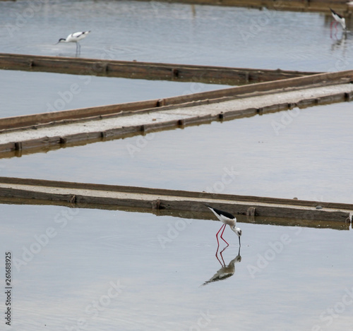 Black-Winged Stilt Wading In Water © Nenov Images